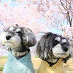 明日早起きして行くべし!インスタ映え(←まだこれいいの?)バツグンな安行寒桜が満開の『坂戸にっさい桜まつり』