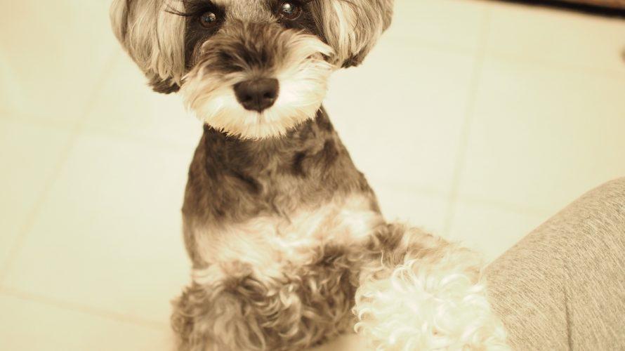 プラシュナに『理学療法』のプレゼント!そして、髭犬祭で学ぶ『薬膳手作り食』と『愛犬との正しい関係性』