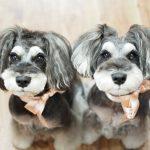 本日、髭犬祭2018開幕!シュナウザーの夢の国でお待ちしております♪