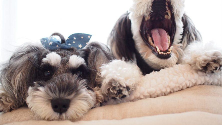 トップノット育成中のマーブル的他犬種のステキスタイルを取り入れるヨークーシャーテリア編