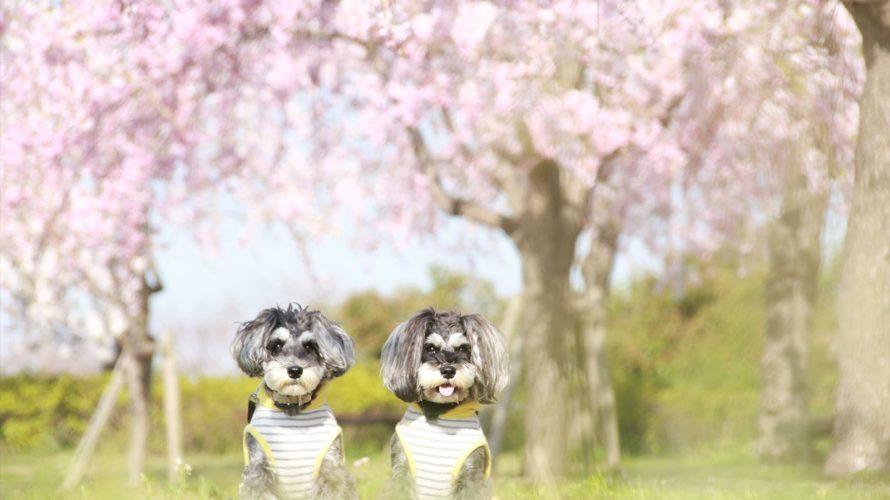 尾久の原公園の桜に呼び寄せられてお花見三昧