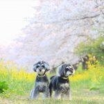ソメイヨシノと菜の花のコラボ!埼玉県比企郡吉見町のさくら堤公園