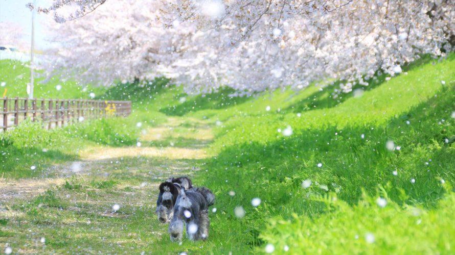 撮影慣れしていなくても安心の桜と撮影する穴場スポットを見つけたよ!