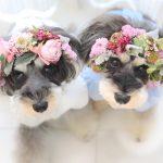 髭犬祭2019よりプラチナシュナウザーをお祝いする『髭犬ご長寿表彰』のお知らせです📣