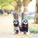 神宮外苑で黄葉鑑賞★そして、いちょう祭りで松坂牛のステーキ丼が…